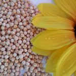 Polished yellow peas whole and split for export